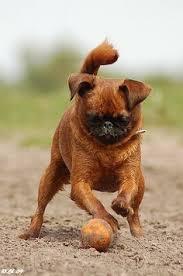 affenpinscher vs brussels griffon cocker spaniel x poodle mixes u003d love favorite dog breeds