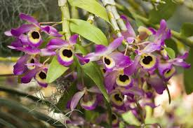 dendrobium orchid growing dendrobium orchids and