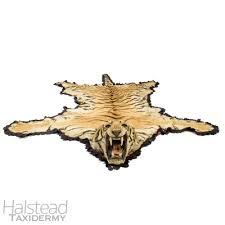 c 1900 kalloo u0026 sons tiger skin rug panthera tigris