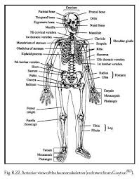 free skeletal system essays and papers