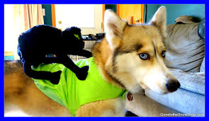 great dog halloween costumes husky freezes in halloween costume frozen shelby dog youtube