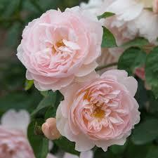 standard roses david austin roses