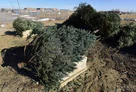 christmas tree recycling opportunities offered in boulder county