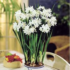 Indoor Fragrant Plants - delft ceramic bowl with paperwhite narcissus bulbs indoor growing