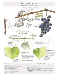edible native plants wild grape leaves harvesting u0026 stuffing fields leaves and books