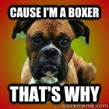 Funny Boxer Dog Memes - cause i m a boxer that s why clever bad boxer dog quickmeme