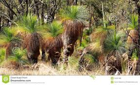 landscaping with australian native plants grass trees also known as black boys in the austra royalty free