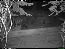 gray wolf photos