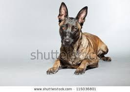 belgian shepherd breeders south africa belgian malinois stock images royalty free images u0026 vectors
