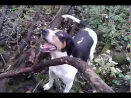 bluetick coonhound rabbit hunting the sound of a true hound dog october 2014 hunting youtube