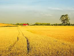 Landscape House Free Picture Agriculture Field Wheat Field House Roof Sky