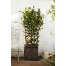 Most Fragrant Jasmine Plant - indoor jasmine home fragrance and tea plant all in one and