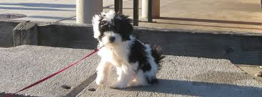 hair cuts for the tebelan terrier yonpo tibetan terriers