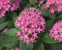 pentas flower butterfly pink pentas lanceolata proven winners