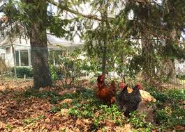 Chicken In Backyard Why Backyard Chickens Are A Good Step To Food Independence