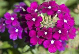 verbena flower verbena a profile of an annual flower howstuffworks