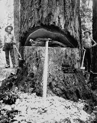the old lumberjacks who felled giant trees with axes