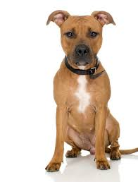 american pitbull terrier info information on red nosed pit puppies pets
