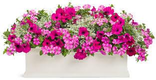 blumentopf balkon großer blumentopf mit rosa und violetten petunien den balkon
