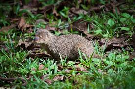Hawaii wild animals images Hawaii mongoose maui animal of the month jpg