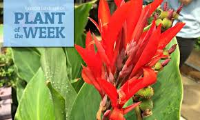 Canna Lilies Plant Of The Week Using Canna Lilies In Your Landscaping
