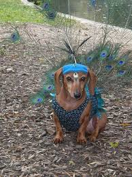 Weiner Dog Halloween Costumes Peacock Dox Hondjes Peacocks Dachshunds Dog