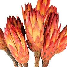 protea flower dried flowers protea repens