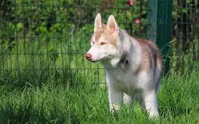 brown husky on the grass wallpaper animal wallpapers 52963
