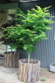 plant pots for topiary trees top 25 best trees in pots ideas on