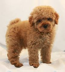 toy poodle breeder u0026 akc puppies for sale los angeles ca from