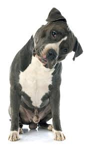 american pitbull a terrier the best dog food for pitbull top dog foods for you to try out