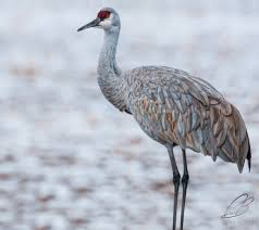 sandhill crane diary of a bird shooter