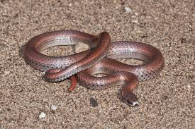 sharp tailed snake wikipedia