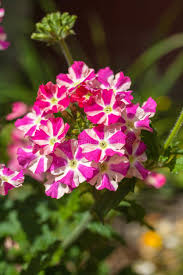verbena flower beautiful pink and white verbena flower in the garden stock photo