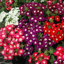 verbena flower verbena tuscany mix verbena flower seeds and gardens
