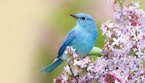 birds images Bluebirds wild birds unlimited wild birds unlimited jpg