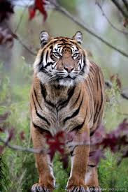 1070 best tiger images on pinterest animals wild animals and