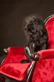 affenpinscher reviews brussels griffon studio portraits nyc 3927 jpg brussels griffons