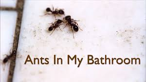 Small Black Ants In Bathroom Sink Exellent Ants In Bathroom Sugar Rukinet Design Inside Inspiration