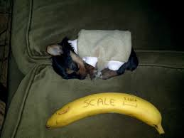 tiny banana tiny sleeping puppy aww