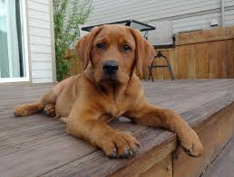 fox red english labrador this is what the next harrison family