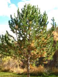 my pine tree is losing its needles