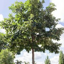 sw white oak trees for sale kansas city mo