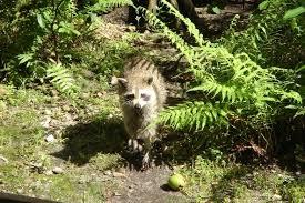 Raccoons In Backyard Raccoon Diet What Do Raccoons Eat