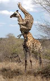 Drunk Giraffe Meme - drunk giraffes humor let s get you home buddy dammit frank keep