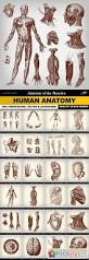 Human Anatomy Images Free Download Human Anatomy 25 Vector Free Download Photoshop Vector Stock