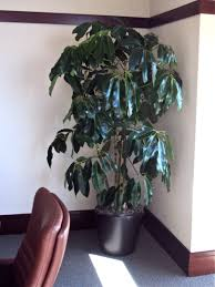 houston u0027s online indoor plant u0026 pot store schefflera amate or