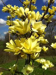 best 25 magnolia trees ideas on blossom trees noting