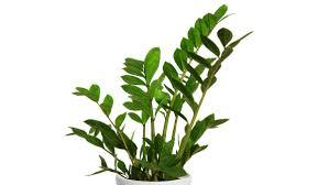 australian native indoor plants best indoor plants myfavoriteheadache com myfavoriteheadache com