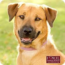 belgian malinois breeder california bijou adopted dog 924 marina del rey ca labrador